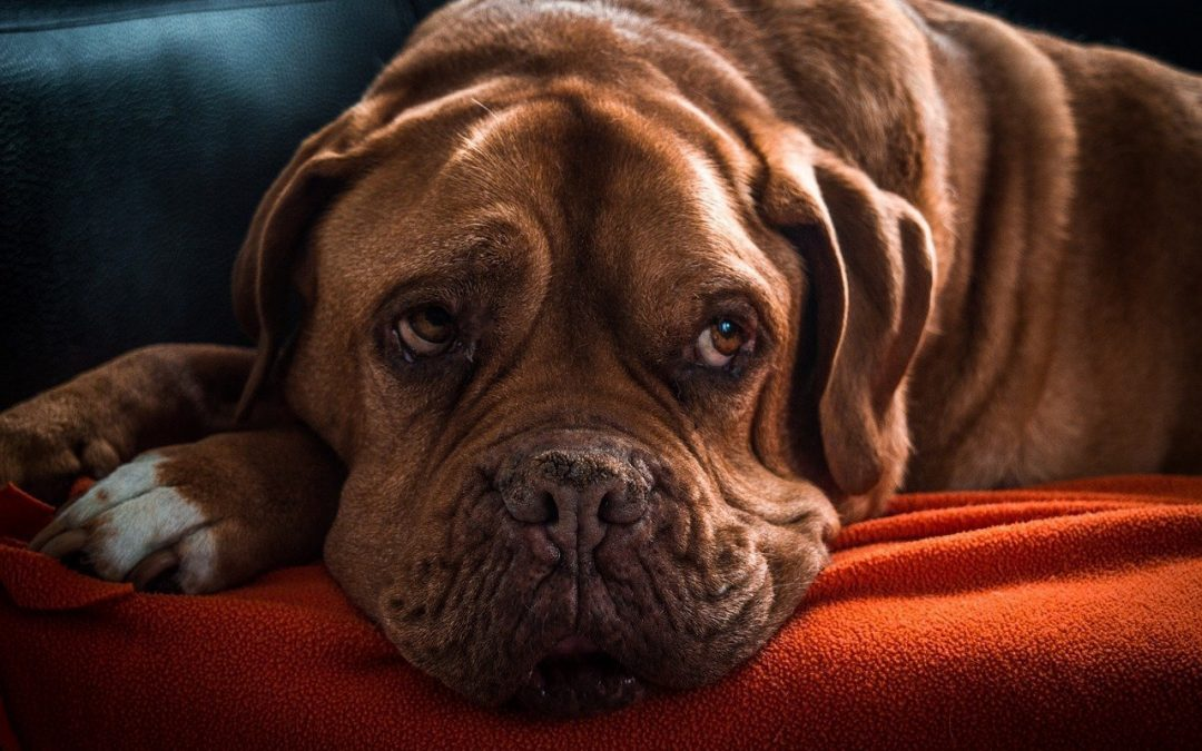 How CBD Oil Can Make Your Dog Happy and Healthy