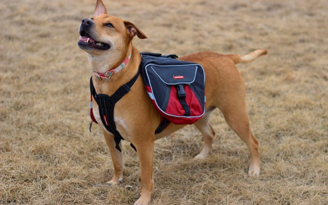 Selecting the Best Backpack For Your Dog