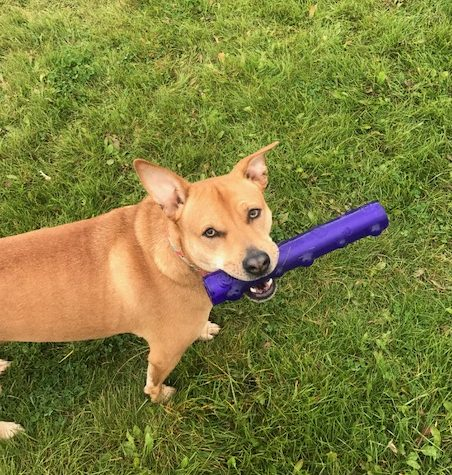 Roxy with Toys - Entertaining Backyard Games To Play With Your Dog