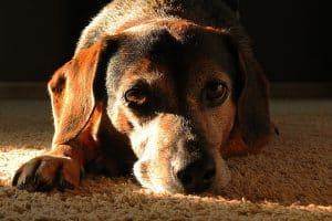 Natural Ways To Make Your Senior Dog Happier