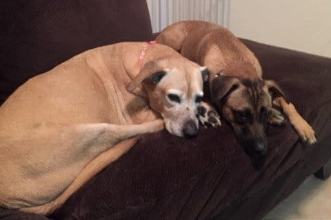 Ginger and Rico Dogs Snuggling on Couch - Vestibular Disease In Dogs