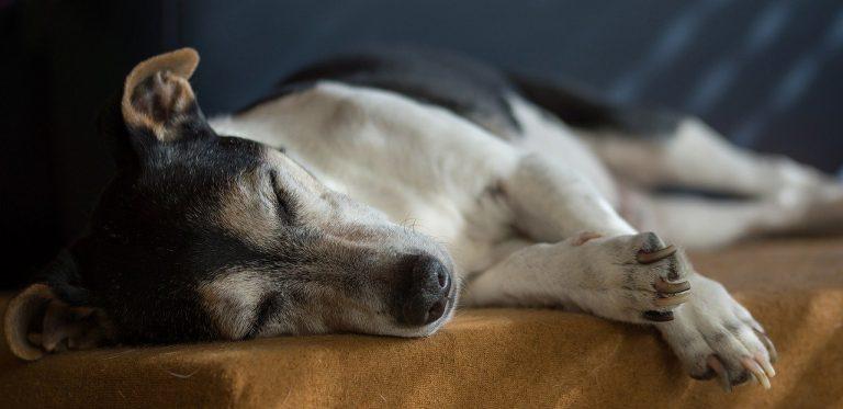 Vestibular Disease in Dogs – How To Help Your Dog