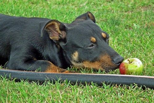 can dogs eat apple skin