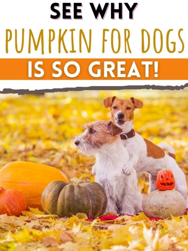 Why Pumpkin For Dogs Is So Great!