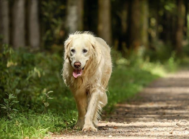 senior dogs arthritis tips
